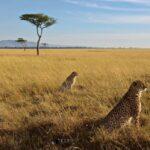 Mara-cheetahs
