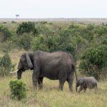 Mara-elephants