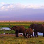 Amboseli-elephants