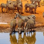 Amboseli-zebra