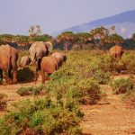 Samburu-elephants