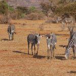 Samburu-grevy-zebra