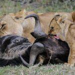 lion-cub_Mara