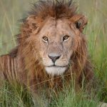 lion-king_Mara